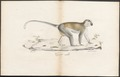 Cercopithecus sabaeus - 1700-1880 - Print - Iconographia Zoologica - Special Collections University of Amsterdam - UBA01 IZ19900084.tif