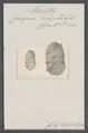 Ceriopora tubiporacea - - Print - Iconographia Zoologica - Special Collections University of Amsterdam - UBAINV0274 093 16 0003.tif
