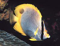 Chaetodon ocellatus
