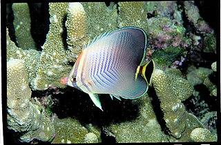 <i>Chaetodon triangulum</i> Species of fish