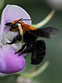 Chalicodoma leafcutter bee from W-Java, ♀ (6453758519).jpg