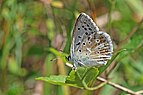 Chalkhill blue (Polyommatus coridon) male underside Bulgaria.jpg