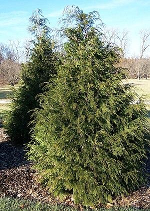 Cupressus nootkatensis - Cultivated Specimens at Morton Arboretum