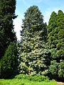 Chamaecyparis lawsoniana tree.jpg