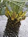 Chamaerops humilis (male flowers).jpg