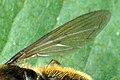 Cheilosia.albipila.wing.detail.jpg