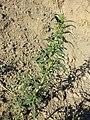 Chenopodium glaucum sl44.jpg