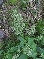 Chenopodium hybridum inflorescence (6).jpg