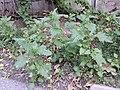 Chenopodium murale sl57.jpg