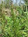 Chenopodium rubrum (s. str.) sl52.jpg