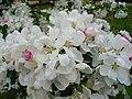 Cherry Blossom, Brogdale - geograph.org.uk - 418932.jpg