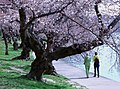 Cherry blossoms 0015 - 2012-03-15 (6995024147).jpg