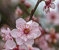 Cherry blossoms at Auburn Botanical Gardens 03.jpg