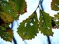 Chestnut Oak (31075564725).jpg