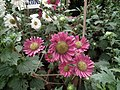 China Aster from Lalbagh flower show Aug 2013 8101.JPG