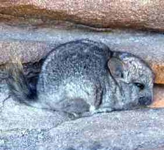 Short-tailed chinchilla - Image: Chinchilla brevicaudata