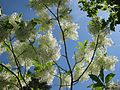 Chionanthus virginicus - New York Botanical Garden - 2.jpg