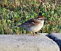 Chipping Sparrow (19047913880).jpg
