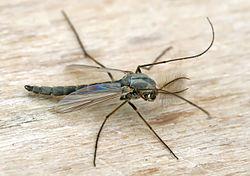 Un chironome plumeux mâle