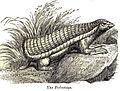 Chlamyphorus truncatus.jpg