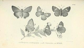 <i>Choaspes xanthopogon</i> species of insect