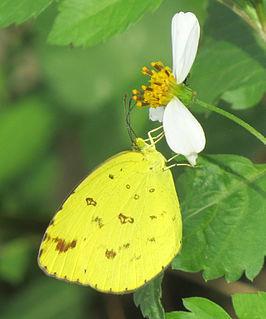 <i>Eurema sari</i> species of insect