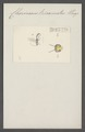 Chorinaeus - Print - Iconographia Zoologica - Special Collections University of Amsterdam - UBAINV0274 046 06 0180.tif
