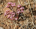 Chorizanthe staticoides SMMNRA.jpg
