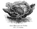 Chou Milan gros des Vertus Vilmorin-Andrieux 1904.png
