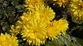 Chrysanthemum flowers yellow.jpg