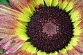 Chrysanthemum from lalbagh7248.JPG