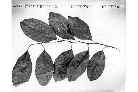 Malus hupehensis - Wikipedia, the free encyclopedia