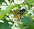 Chrysotoxum species - Flickr - gailhampshire (6).jpg