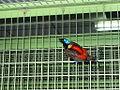 Cicinnurus respublica -male -captive-8a.jpg