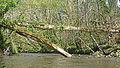Ciron (river), France avril 2016 entre Préchac et Villandraut 4727 02.JPG