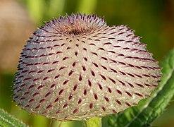 Cirsium eriophorum flower head (Kozara National Park, Republika Srpska) v2.jpg