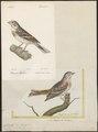 Citrinella lesbia - 1700-1880 - Print - Iconographia Zoologica - Special Collections University of Amsterdam - UBA01 IZ16100271.tif