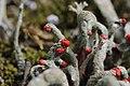 Cladonia sp. (35475994790).jpg