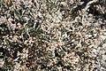 Clay loving wild buckwheat plant eriogonum pelinophilum.jpg