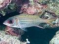 Clearfin squirrelfish (Neoniphon argenteus) (48776696936).jpg