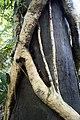 Clinging vine (39853595084).jpg