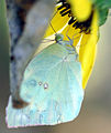 Cloudless Sulfur (Phoebis sennae eubule) Butterfly Feeding on Sunflower (48203844).jpg