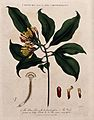 Clove tree (Syzygium aromaticum); flowering and fruiting ste Wellcome V0044303.jpg