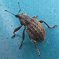 Clover Leaf Weevil (24166761073).jpg