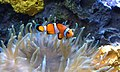 Clown Fish at Audubon Aquarium of the Americas.jpeg