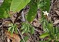 Coccinia sp. ? (Cucurbitaceae) (27117637186).jpg