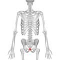 Coccyx - posterior view05.png