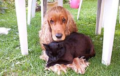 Cocker spaniel and cat are friends.jpg