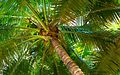 Coconut tree in Florida, USA.jpg