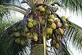 Cocos nucifera (11033378715).jpg